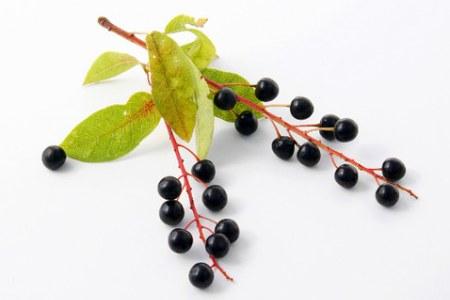 кисти черемуховых ягод